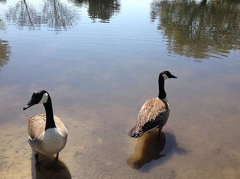Canada Geese by Jim Hubbard