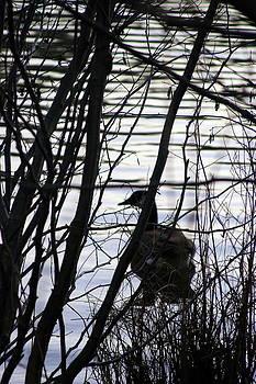 Canada Goose by Paula Tohline Calhoun