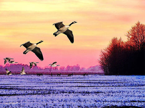 Canadian Geese by Tom Schmidt