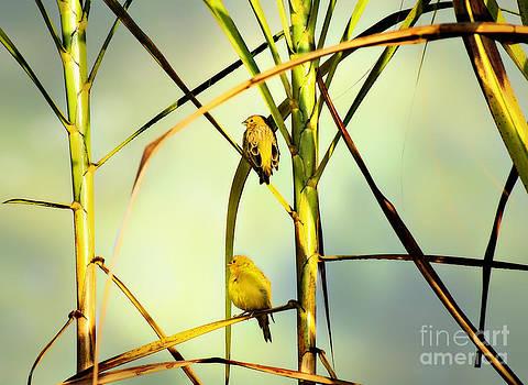 Canaries by Paulo Sezio De Carvalho