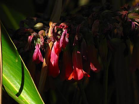 Candelabra  Flower  by Phil Penne