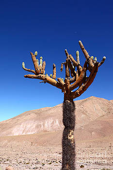 James Brunker - Candelabro Cactus in the Atacama Desert