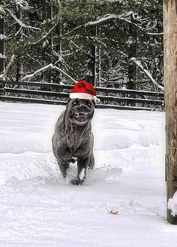 Cane Corso Christmas by Fran J Scott