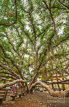 Jamie Pham - Canopy - Banyan Tree Park in Maui