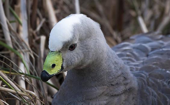 Steven Ralser - Cape Barren Goose