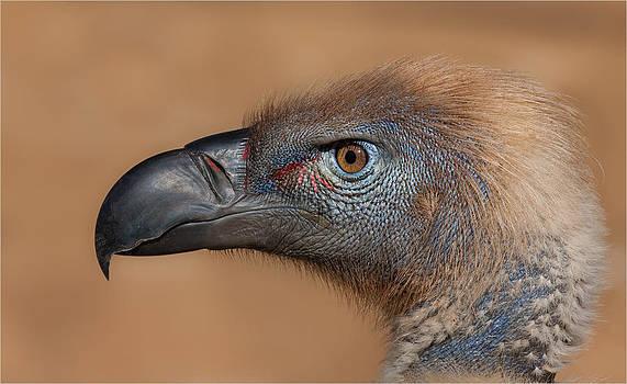 Cape Griffon Vulture Portrait by George Schmahl