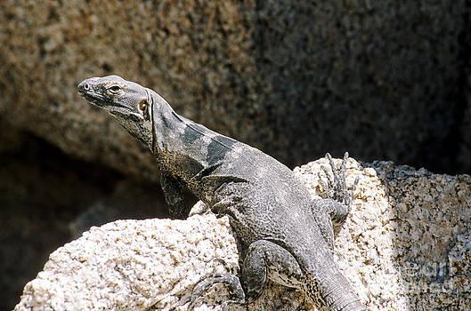 William Mullins - Cape Spiny-tailed Iguana