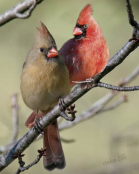 Cardinal Couple by Helen Ellis