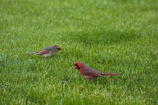 Cardinal Couple by Tony Hammer