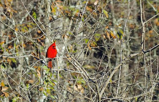 Cardinal II by Sarah Barber
