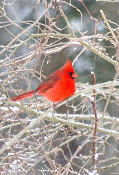 Cardinal in Snow by Brad Fuller