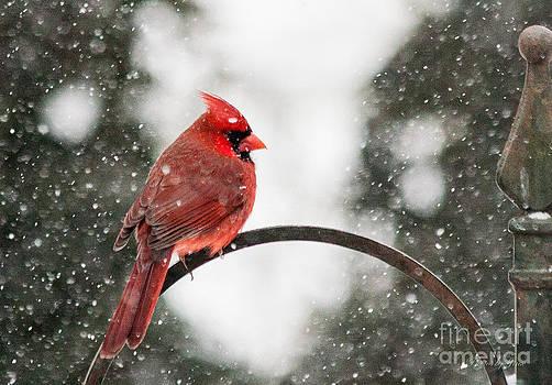 Cardinal in Snow by Jinx Farmer