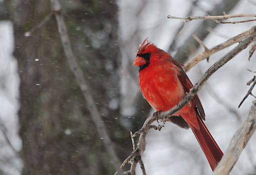 Cardinal in the Snow in Texas by Lisa Moore