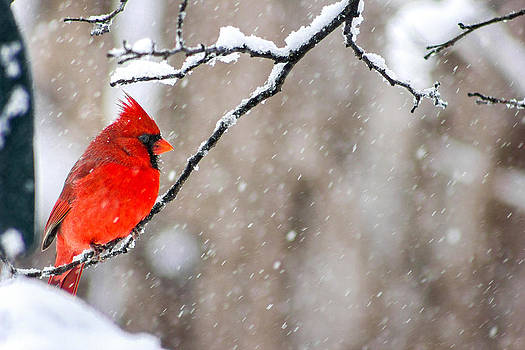 Cardinal in the Snow by Jackie Novak