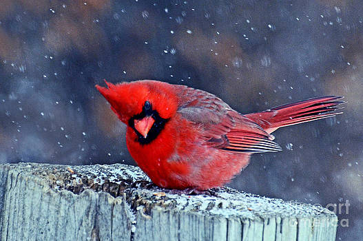Cardinal in the Snow by Rodney Campbell