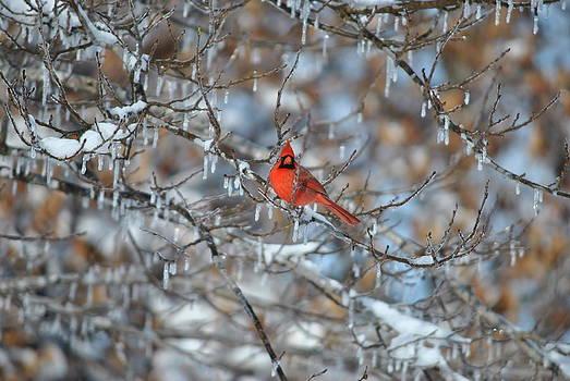 Cardinal in winter by Cim Paddock