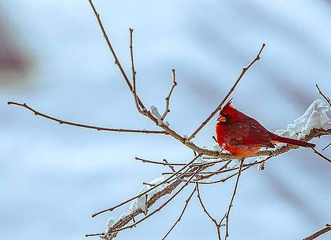 Cardinal in Winter by Shirley Tinkham