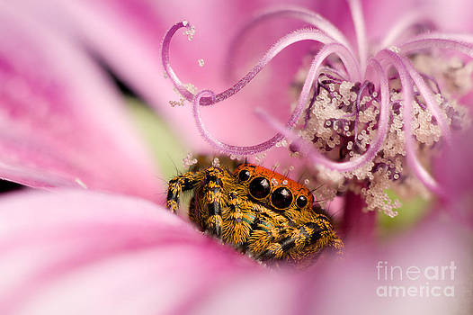 Scott Linstead - Cardinal Jumping Spider In Flower