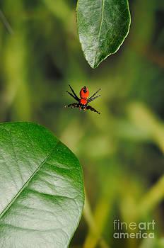 Scott Linstead - Cardinal Jumping Spider Jumping