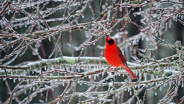 Cardinal Thirst by Sarah Barber