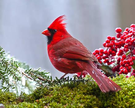 Randall Branham - Cardinal winter