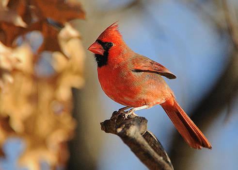 Cardinal's Perch by Sarah Rodefeld