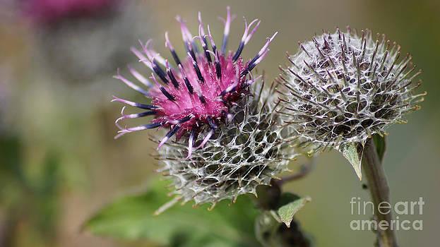 Carduus Asteraceae - Zierdistel by Eva-Maria Di Bella