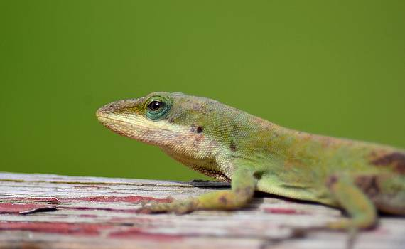 Maria Urso  - Carolina Anole Lizard