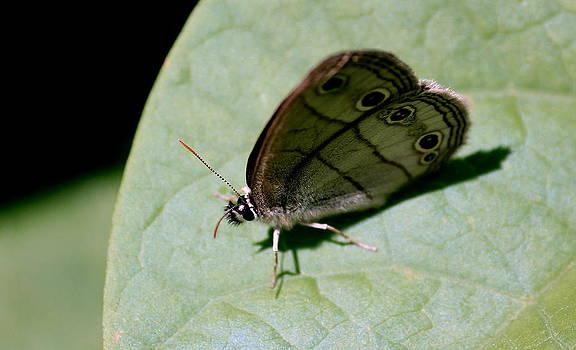 Rosanne Jordan - Carolina Satyr Butterfly