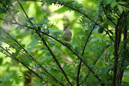 Carolina Wren sitting in a Winged Elm Tree by Kim Pate
