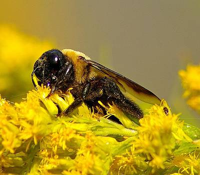 Carpenter Bee by Sean Murray