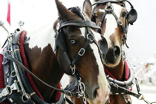 Linda Knorr Shafer - Carriage Horse - 2