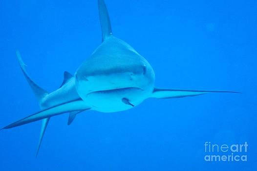 John Malone - Carribean Reef Shark Seeks Dinner