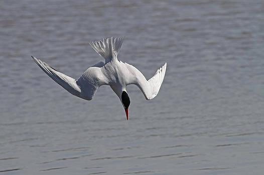Caspian Tern Dive by Jim Nelson