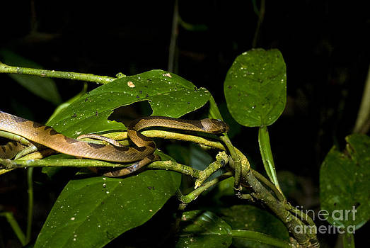 William H. Mullins - Cat-eyed Snake