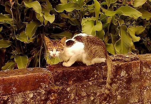 Cat on the wall by Salman Ravish