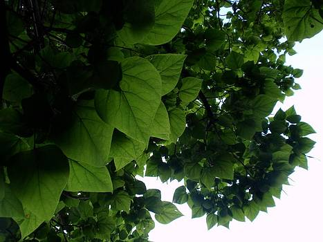 Catalpa Leaves by Janis  Tafoya
