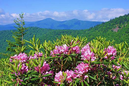 Catawba Rhododendron Black Mountains by Michael Weeks