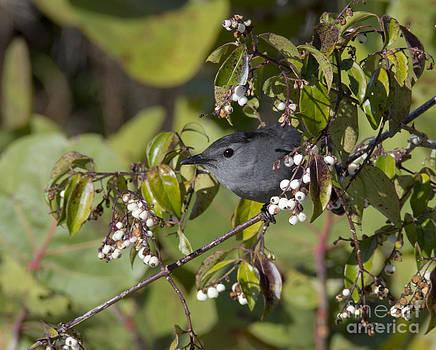 Catbird with White Berries by Carol McCutcheon