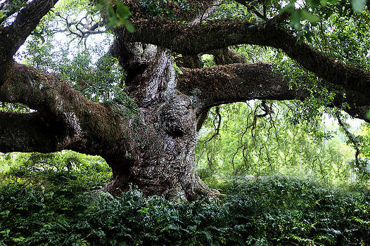 Cathedral Oak by Cecil Fuselier