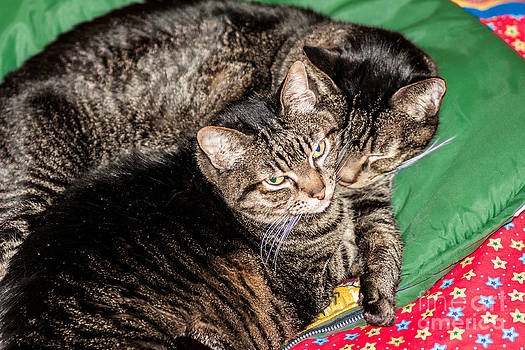 Cats Cuddling by Sue Smith