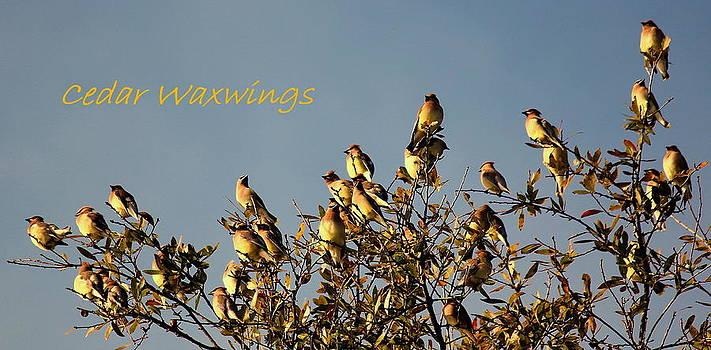 Rosanne Jordan - Cedar Waxwings