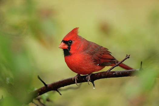 Karol  Livote - Center Cardinal