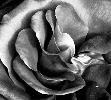 Center Rose by Christine Maeda