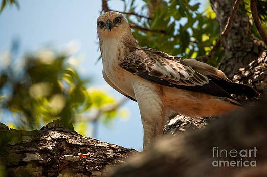 Ceylon Hawk Eagle by Venura Herath