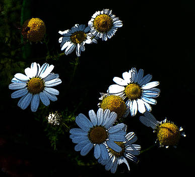 Chamaomile Flowers by Frank Gaffney