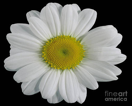 Cheryl Young - Chamomile Flower