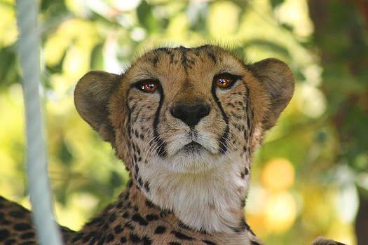 Cheetah 5 by Rafa Soriano