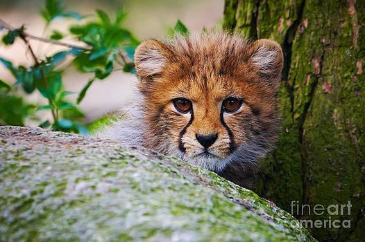 Nick  Biemans - Cheetah cub behind a rock