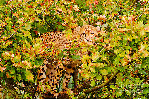 Nick  Biemans - Cheetah in a tree